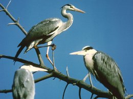 Herons of the padule marsh