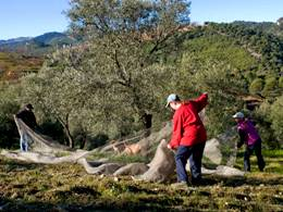 Olive grove experience during the harvest