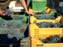 Vendemmia experiences in  a Tuscan winery