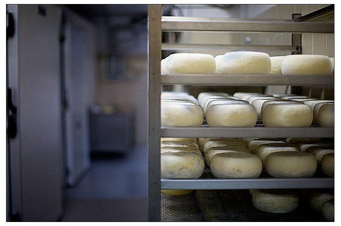 Ageing pecorino cheese
