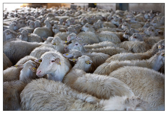 Sheep from the cheese farm