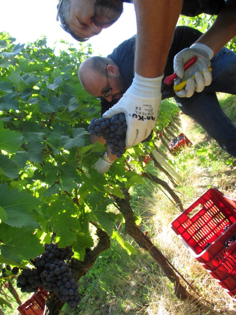 Grape picking in Tuscany