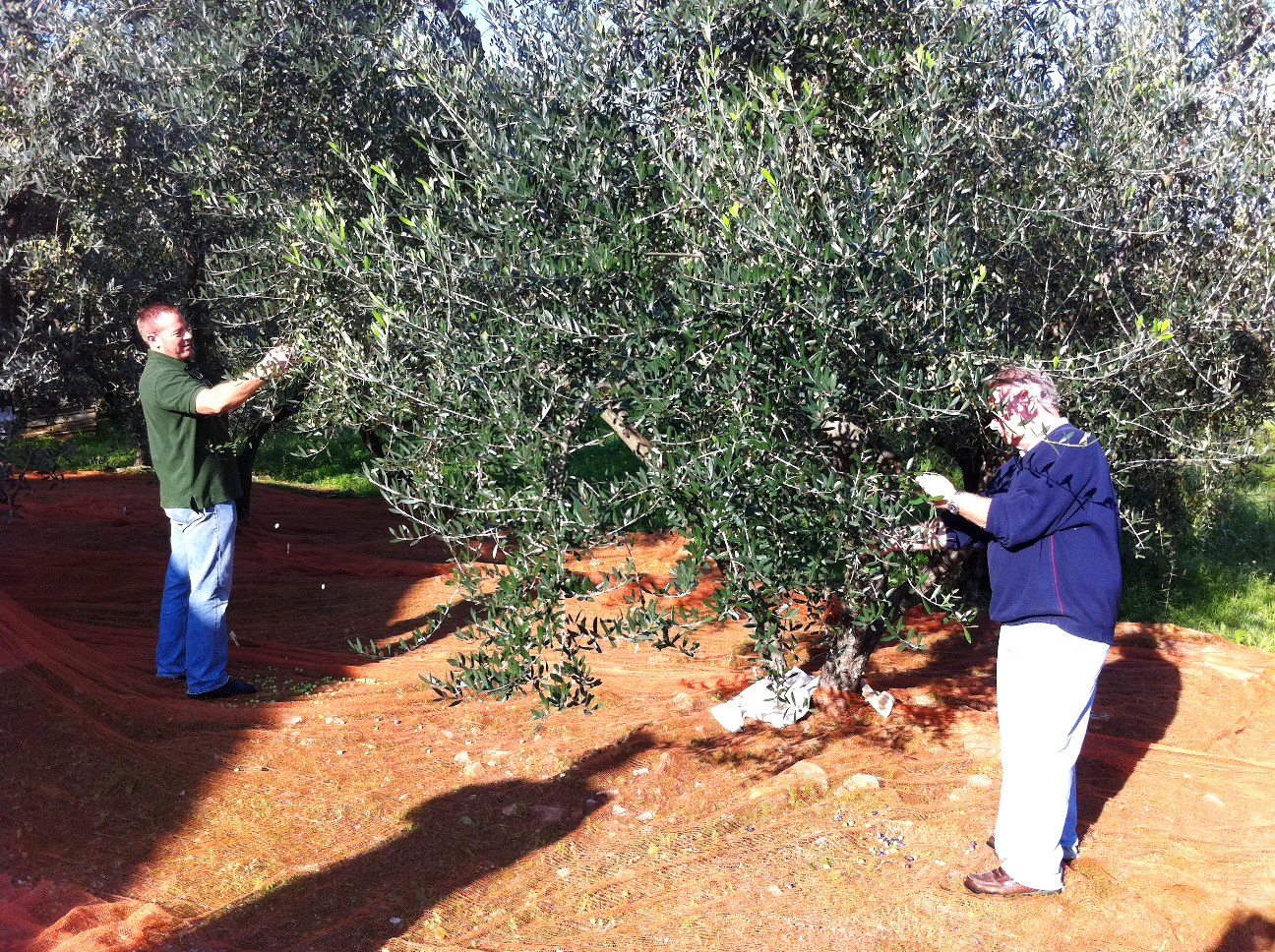 Picking olives in a sunny day