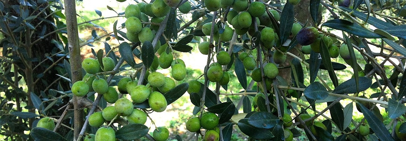 Moraiolo olives