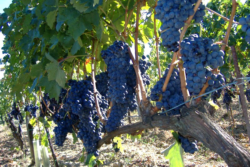 Sangiovese bunches