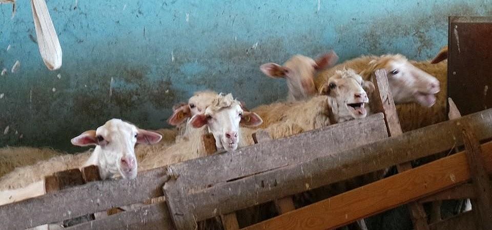 Sheep at the milking facility