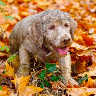 Giotto, the best truffle dog of Italy