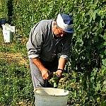 Grape harvesters