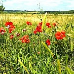 Poppies and wheat fields