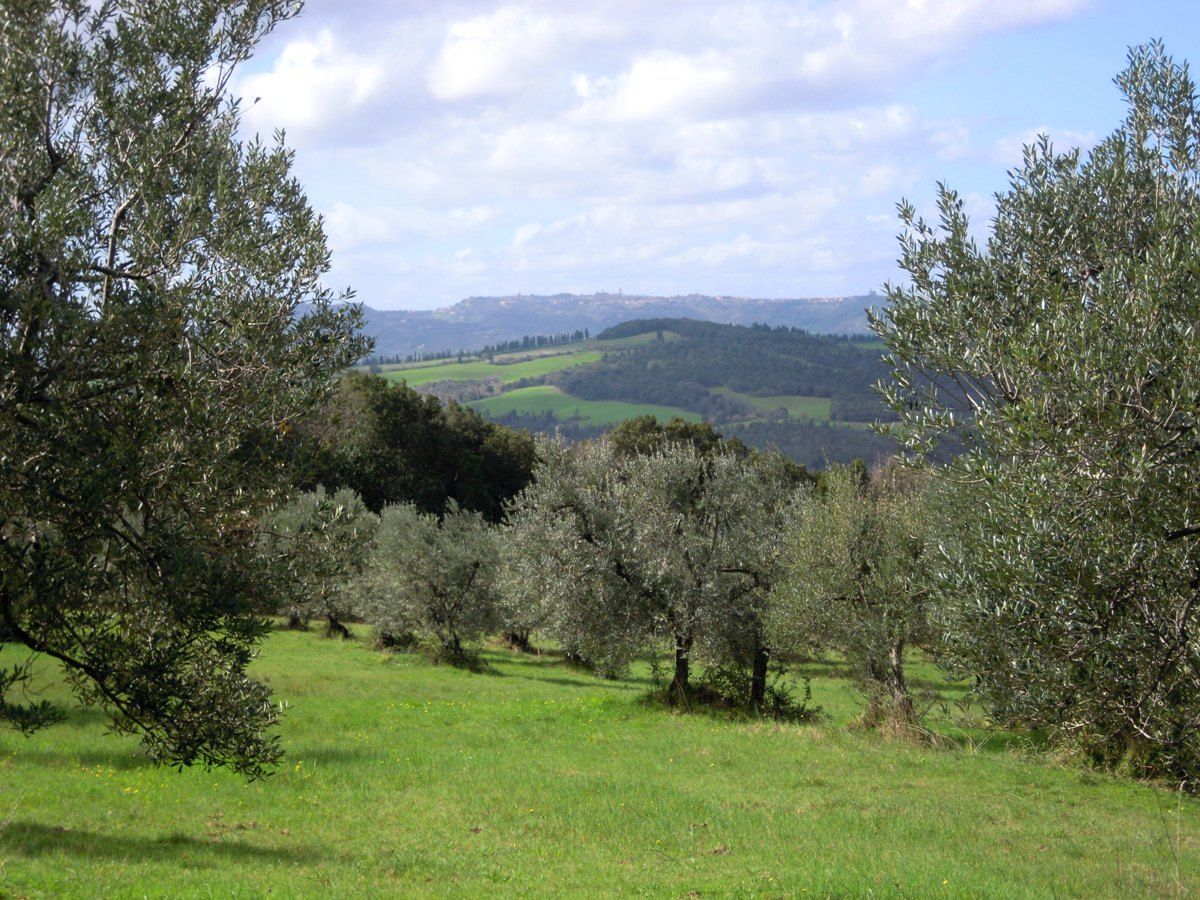 Olive grove and Volterra