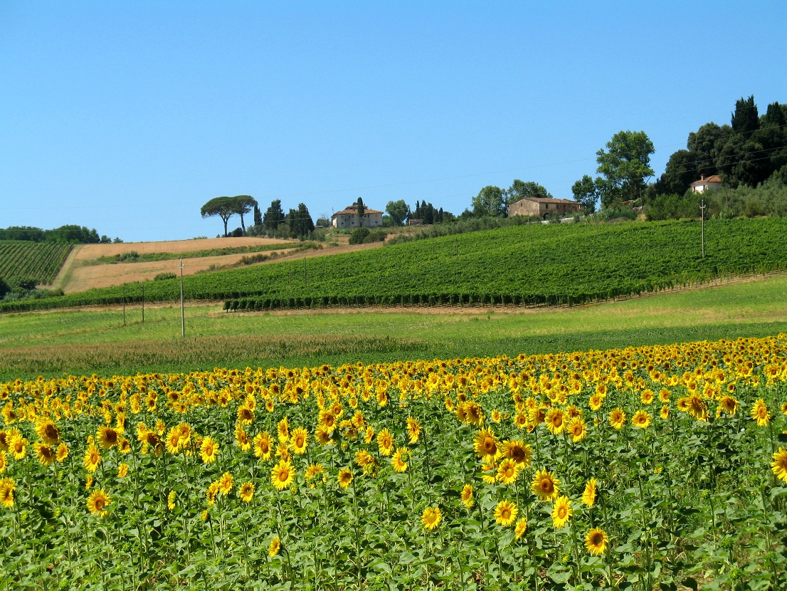 Tuscan sunflowers and vineyards