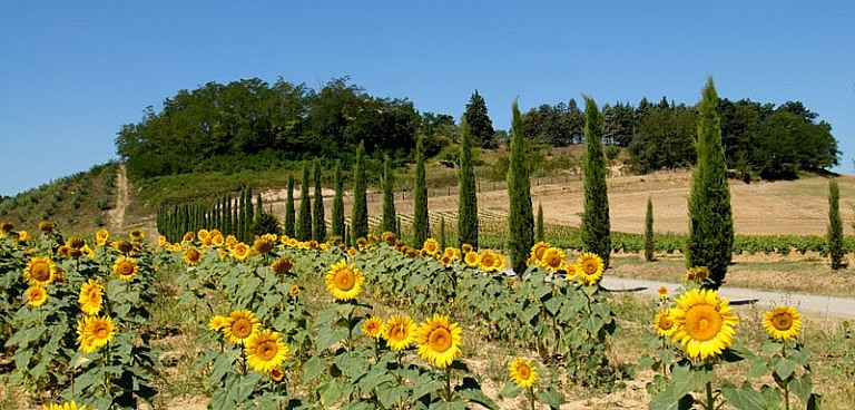 Cypress trees and sunflowers at a Tuscan agriturismo