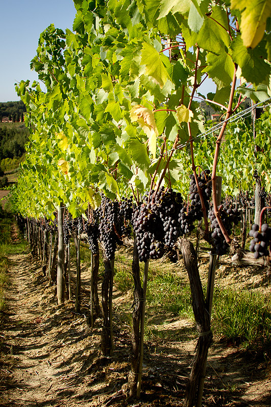 Grapes at a winery with accommodation in central Tuscany