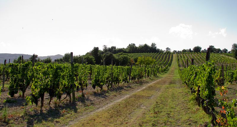 Vineyards at a renowned Tuscan agriturismo