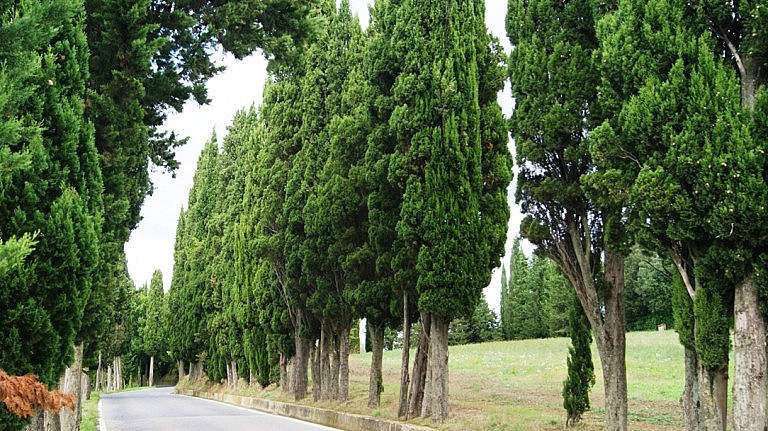 Lines of cypress trees in Tuscany