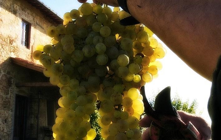 Vermentino grapes for Tuscan white wine
