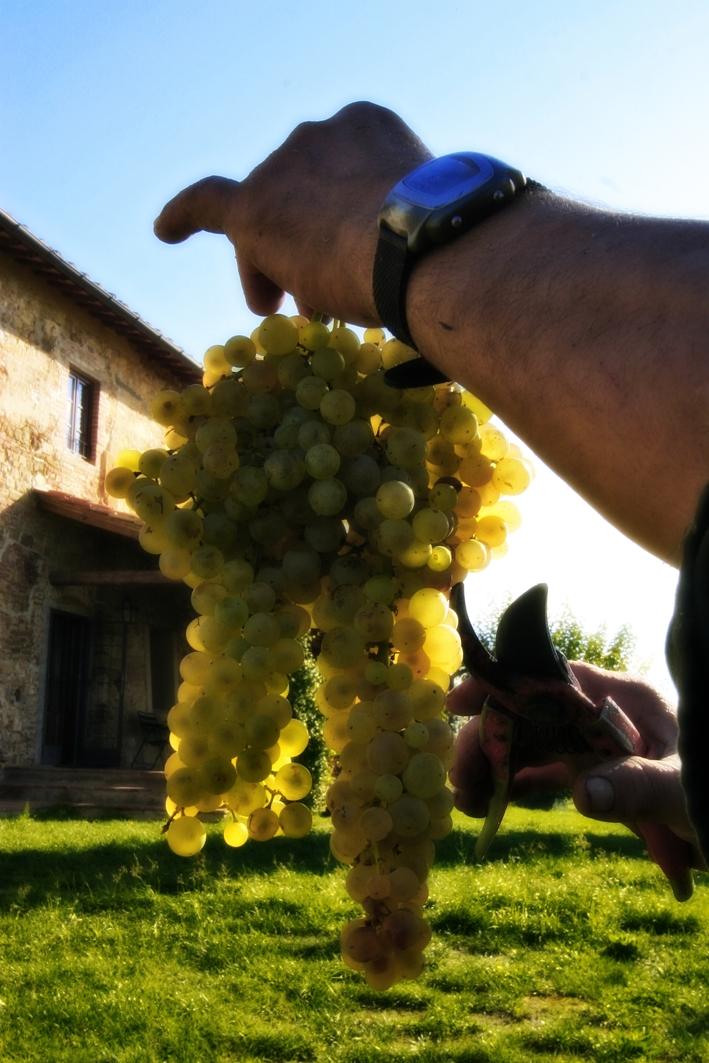 Vermentino grapes for Tuscan white wine