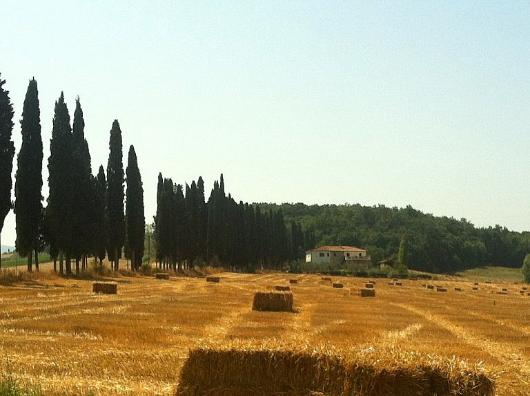 Tuscan cypresses near a wheat field