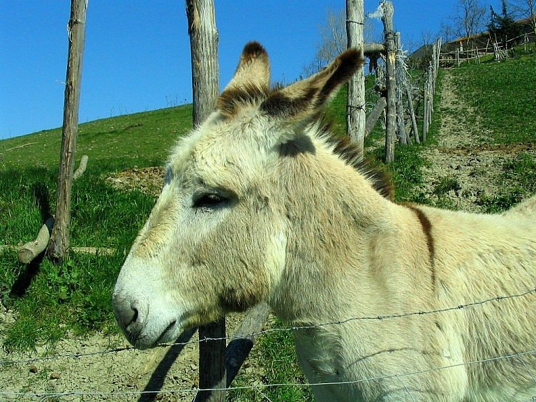 Orazio, the donkey that lives on a Tuscan organic farm