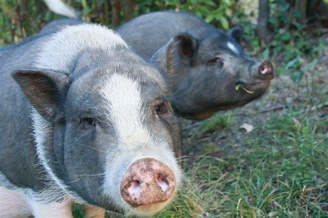Piglets as pets in pet friendly accommodation in Tuscany