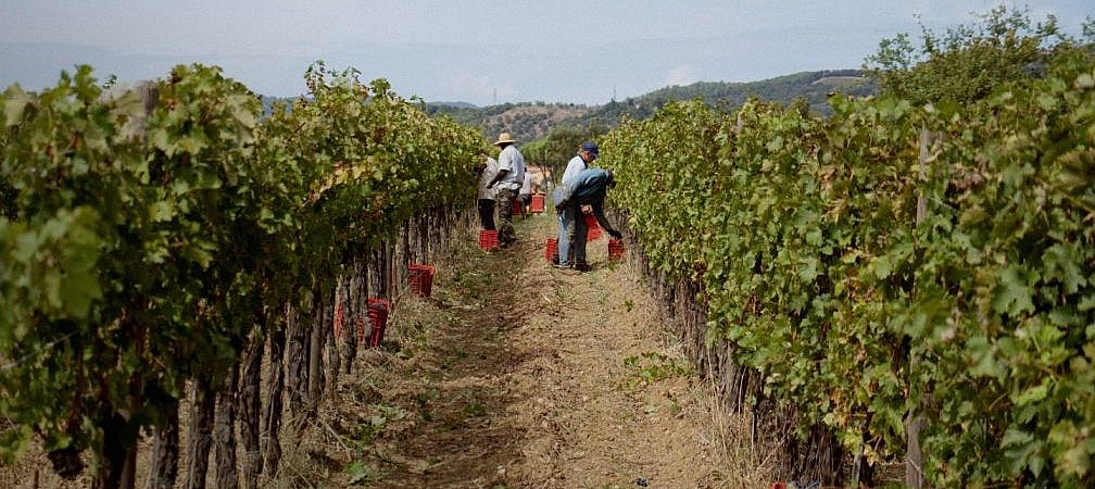 Grape harvest by the coastal vineyards of Tuscany