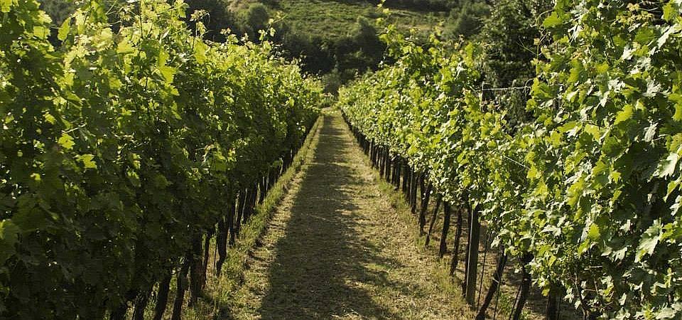 Sangiovese vines surrounding picturesque farmhouse in Terricciola