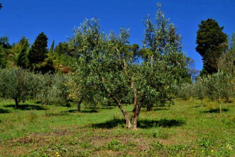 Olive grove in organic farm in San Miniato
