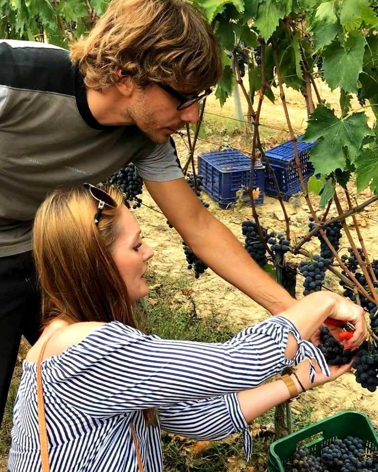 Picking grapes of Sangiovese