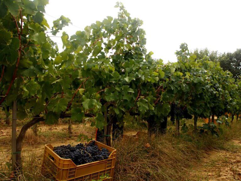Vines on the hills around Peccioli