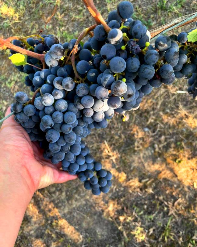 A local Tuscan variety of a famous Spanish grape vine
